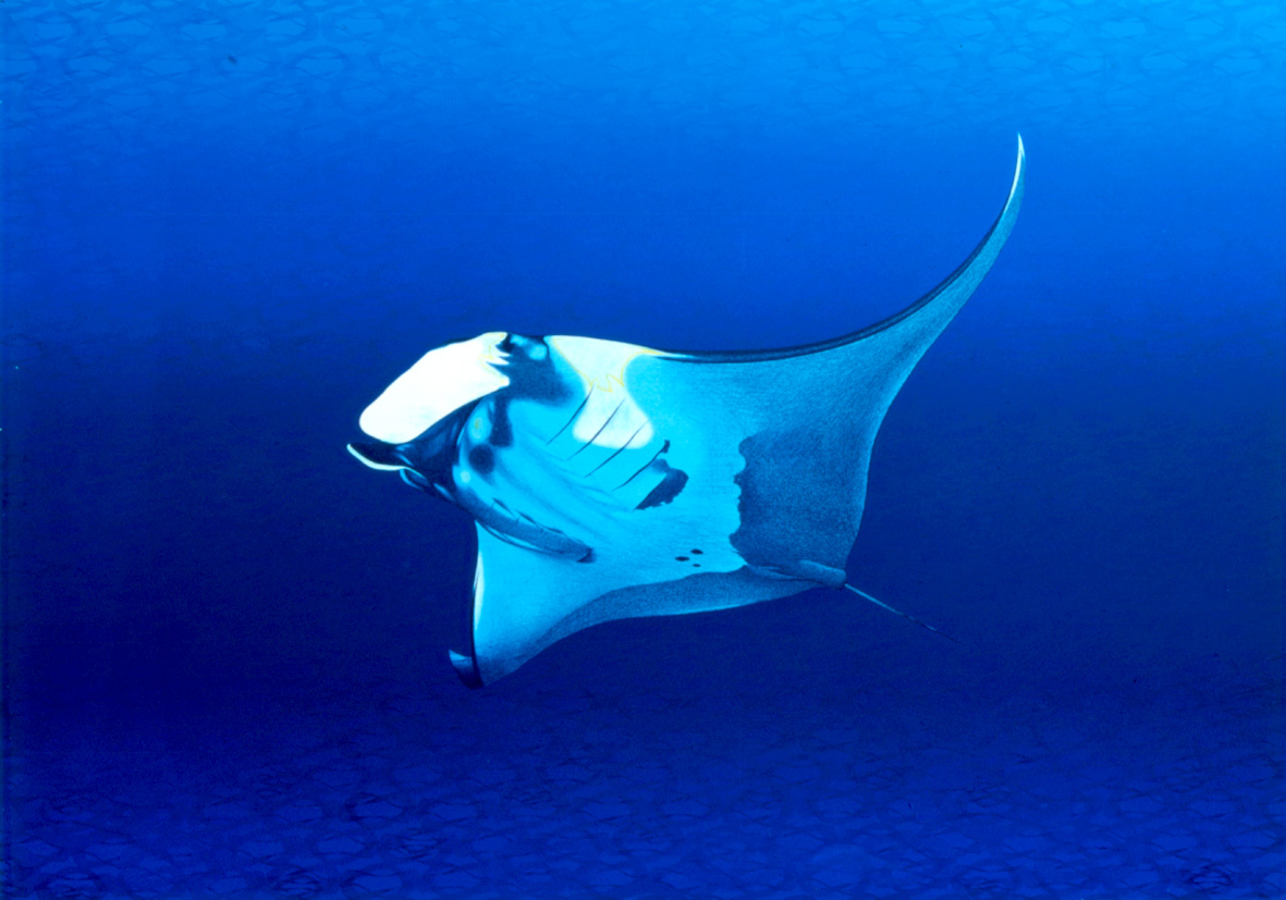 Manta (lithograph/screen-print)
